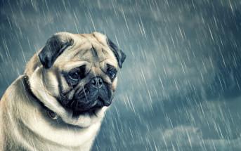 sad looking pug in the rain