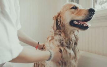 woman bathing golden retriever